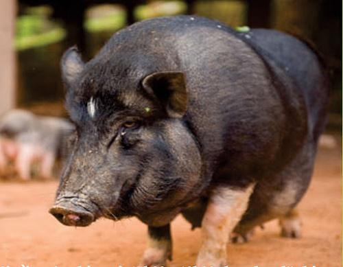 mơ thấy lợn đen