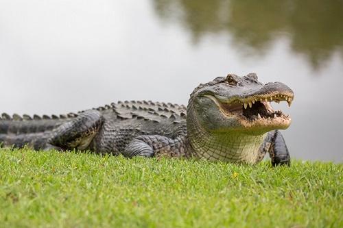 Con số may mắn về cá sấu